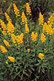 Showy Goldenrod - 3 Bulbs