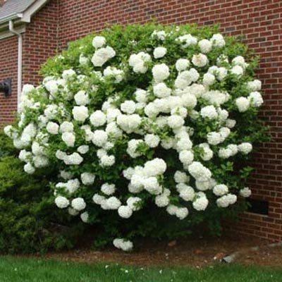 Snowball Viburnum Bush - 3 Gallon | Cannot Ship to AZ