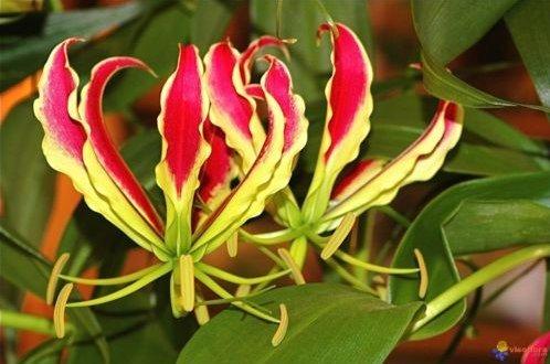 (Fresh Gloriosa superba - Flame Or Fire Lily - Rare Tropical Plant 10 Seeds)