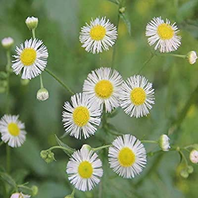 URMAGIC 50 Pcs Daisy Flower Seed, White Blooms with Bright Yellow Center Home Garden Flower Bonsai, Fleabane Daisy, Sunflower Seeds,Chamomile Seeds - Easy to Grow : Garden & Outdoor