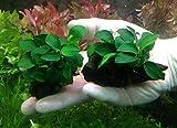 Anubias Nana 'Petite' on Driftwood - Live Aquarium Freshwater Plants Decorations