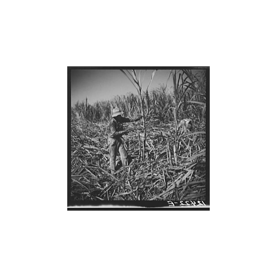Photo Cutting sugar cane. Near Ponce,Puerto Rico 1