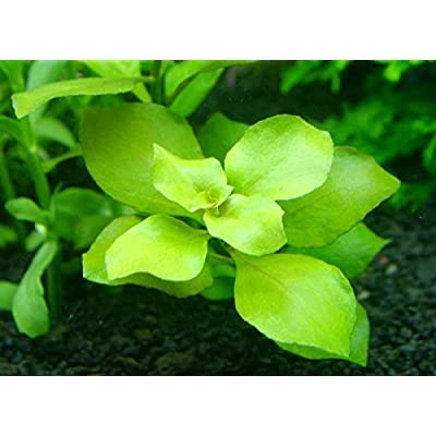 Ludwigia palustris Green x1 Bunch - Live Aquarium Plant: Pet Supplies