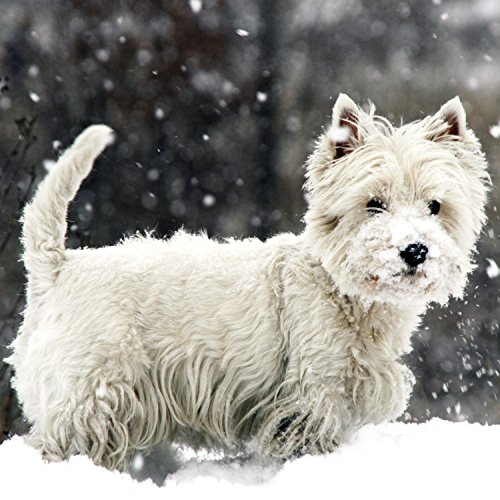 (West Highland White Terrier in The Snow Christmas Card)