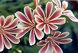 Lewisia Sunset Strain Flower Seeds (Lewisia Cotyledon) (40)
