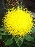 25 Yellow Cornflower SEEDS (Centaurea Macrocephala) Armenian Basketflower, Knapweed