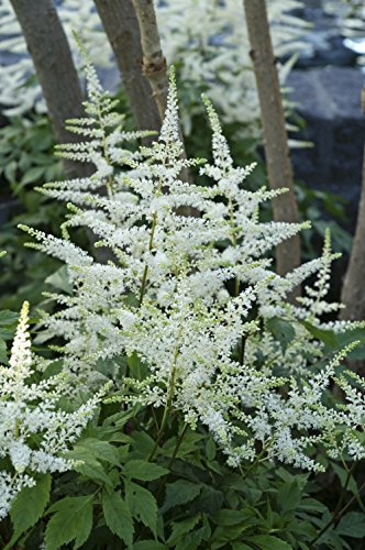 - Astilbe arendsii 'Bridal Veil' (False Spirea) Perennial, white flowers, #2 - Size Container