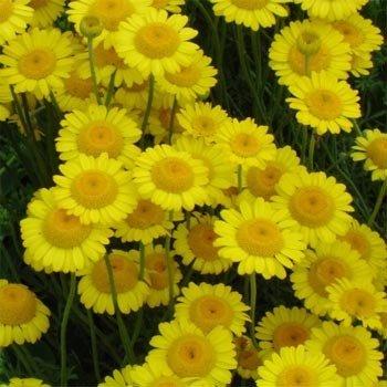 Marguerite Daisy - Outsidepride Marguerite Daisy Yellow - 5000 Seeds
