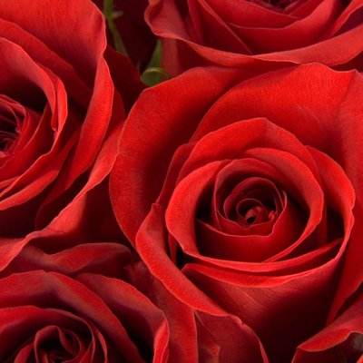 Wholesale Fresh Cut Roses from the Farm (75 Red) by eFlowy