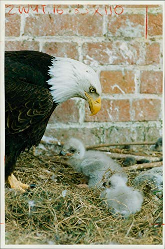 Vintage photo of Two american bald eagle chicks with their - Chicks Bald