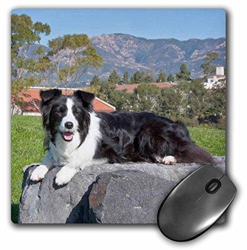 3dRose LLC 8 X 8 X 0.25 Inches A Border Collie Dog Zandria Muench Beraldo Mouse Pad (mp_88809_1)