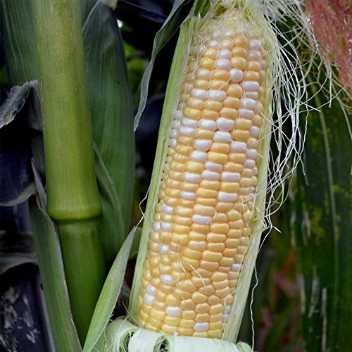 Serendipity Hybrid Triplesweet Corn Garden Seeds (Treated) - 5 Lb - Non-GMO Vegetable Gardening Seeds - Bicolor Triple Sweet Corn