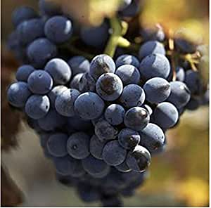 The best seller 30 seeds Courtyard Plants Black grapes Seeds Delicious Fruit Seed.
