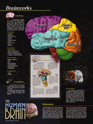 The Human Brain Poster Series - Set of 5 Laminated Posters. Brain Facts, Brain