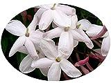 POLYANTHUM Pink Winter Jasmine Vine Plant Fragrant Spring Flowers Starter Plant 4 Inch Pot Emerald TM For Sale