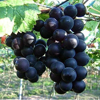 KYOHO Grapes 50 Fresh Seeds : Garden & Outdoor