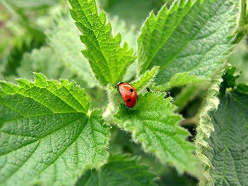 (Earthcare Seeds Stinging Nettle 200 Seeds (Urtica dioica) Non GMO, Heirloom)