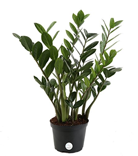 Costa Farms ZZ, Live Indoor Plant, 14-Inches Tall,  Fresh From Our Farm, Excellent Gift
