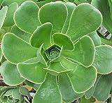 Aeonium arboreum succulent plant 10cm