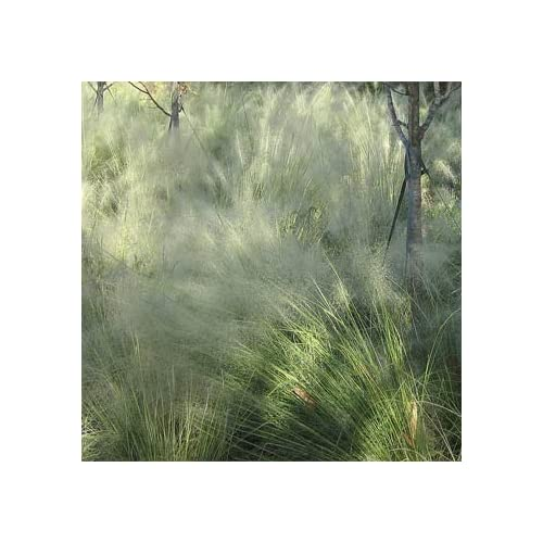 """(GR)~Etherial~""""CLOUD GRASS""""~Seed!!!~~~Fine Wisps of Folage! for sale"""
