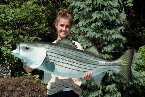 Land & Sea Giant Taxidermy Quality Striped Bass Game Fish 44 (Giant Striped Bass)