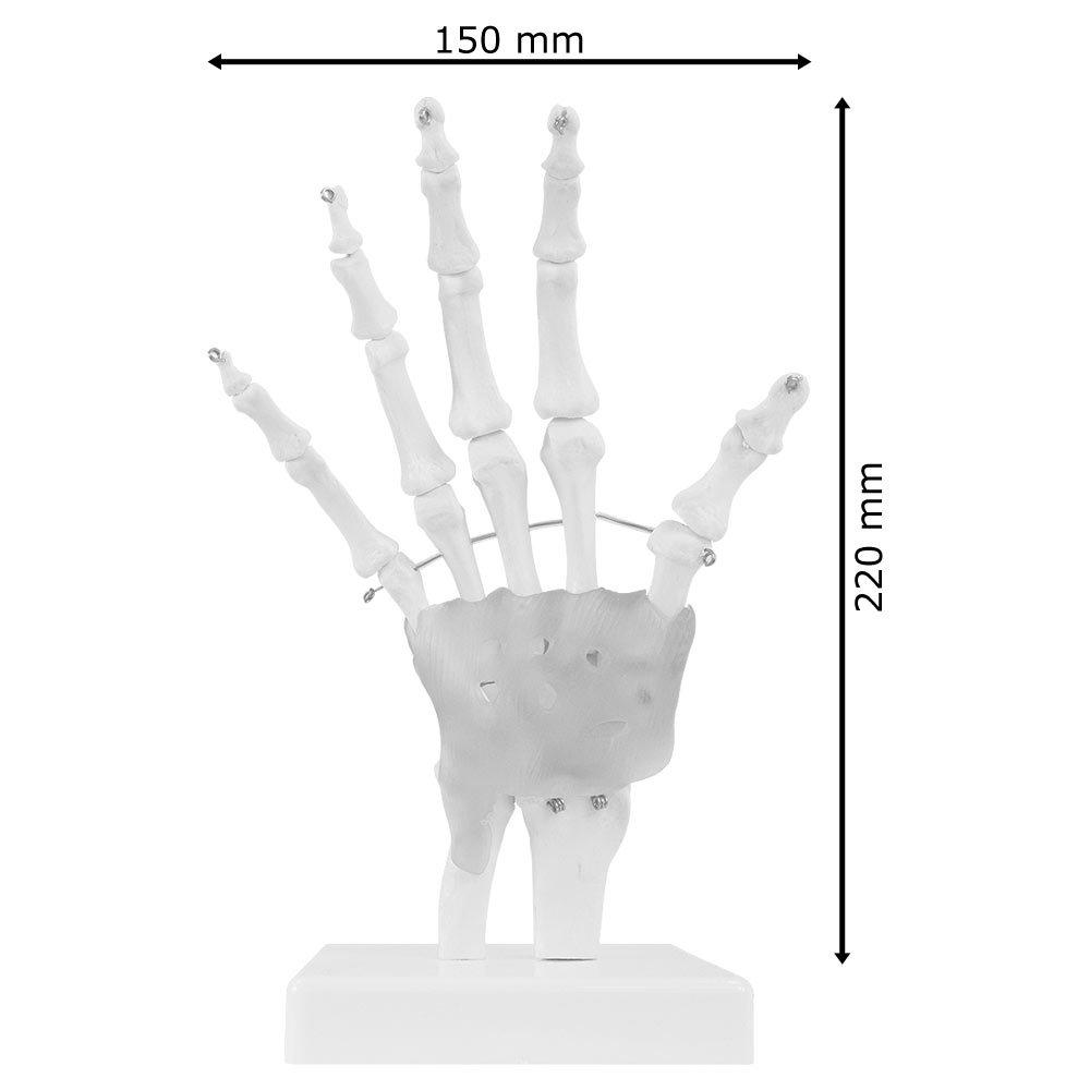 Berühmt Handgelenk Und Handknochen Ideen - Menschliche Anatomie ...