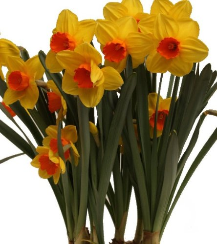 25 Quality Daffodil Bulbs - Monal (Lemon Yellow with Orange Heart) - Freshly Imported from Holland