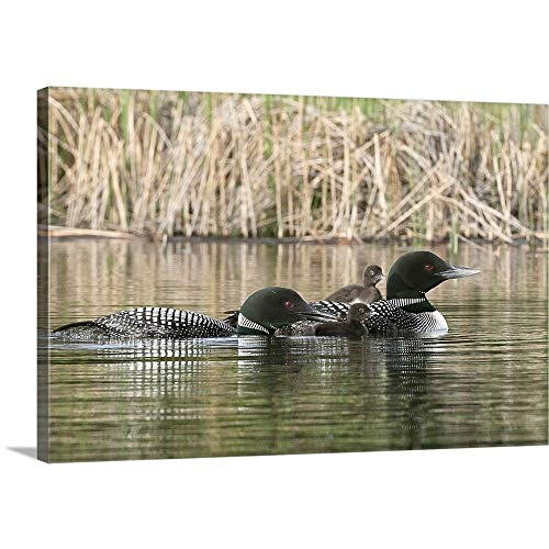 Common Loon Family, One Adult Loon is Giving an Aquatic Insect to its Chick Canvas Wall Art Pri.