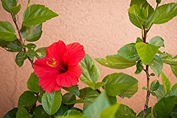 Amazoncom Home Comforts Laminated Poster Red Red Hibiscus Leaves