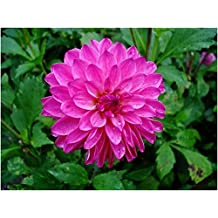 "Dahlia ""Sweet Lady"" ( 2 Tuber ) Giant Flowers, Great Cut Flowers !"