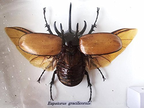 Real Exotic Eupatorus Gracilicornis Rhinoceros Beetle - Taxidermy Insect Collection Framed in a Wooden Box - Opened Wings