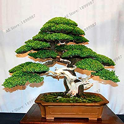 MAPPLEGREEN Lowest Price!50 Juniper Bonsai Tree Potted Flowers Office Bonsai purify The air Absorb Harmful Gases Juniper gardenpi: Garden & Outdoor