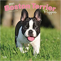 Boston Terrier Puppies 2021 12 x 12 Inch Monthly Square Wall