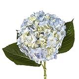 Wholesale Hydrangeas (40 Blue)