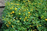 Lantana x 'New Gold' New Gold Lantana has a dramatic mounding habit and an impressive display of golden yellow blooms from late Spring thru Fall-Set of 12 plants shipped in Classic Pint size