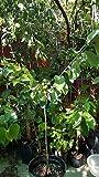 1 Atemoya Geffner - Grafted Tree - 3 Feet Tall - Ship in 1 Gal Pot Fruit Rare MHWK55