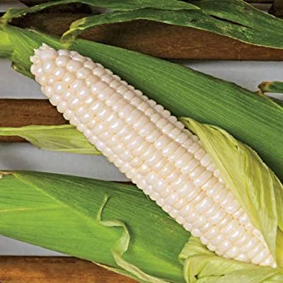 Silver Dutchess Sweet Corn (75 Seeds)