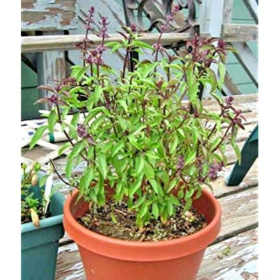 Cutdek 300+Thai Basil Seeds Asian Flowering Herb Sweet Fragrant Garden/Patio Containers : Garden & Outdoor
