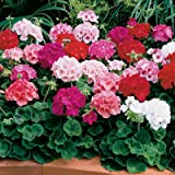 Geranium - Maverick Mix F1 - Flower Seeds