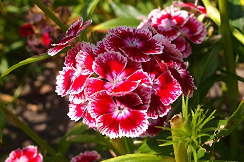 Home Comforts Canvas Print Grow Nature Sweet William Summer Plant Flowers Stretched Canvas 10 x 14 (William Grow Sweet)