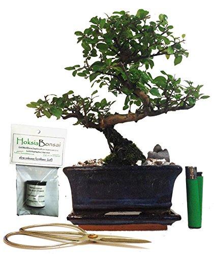 Sa15s Chinese Bird Plum Flowering Indoor Bonsai Tree Gift Set Buy Online In Guernsey At Guernsey Desertcart Com Productid 51343788