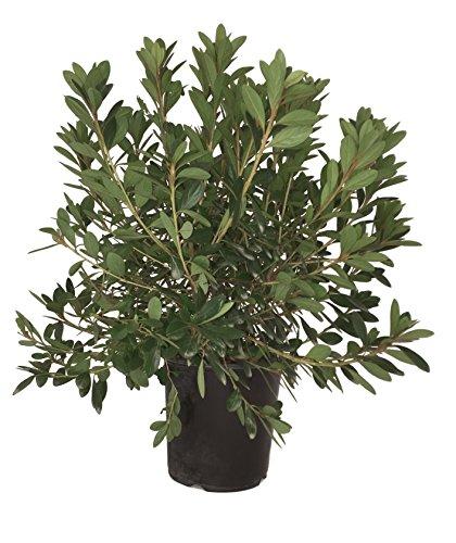 Azalea Hybrid - Karen Azalea (Gable Hybrid) - Azalea Karen - 19cm