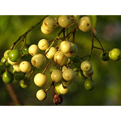 1 oz Seeds (Approx 170 Seeds) of Melia Azedarach, Chinaberry, Persian Lilac, Bead Tree : Garden & Outdoor