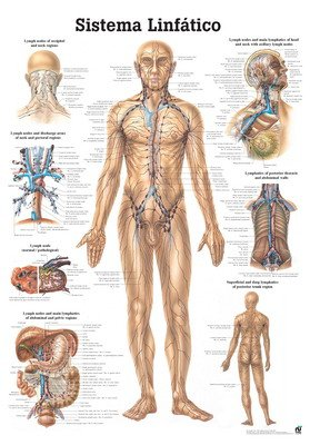 The Human Lymphatic System Laminated Anatomy Chart (Sistema Linfatico) in Spanish