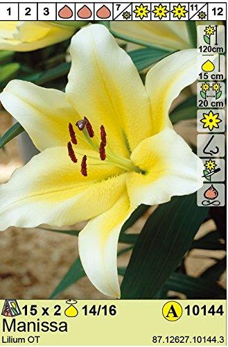 ANGEBOT : Lilium hybrid - Baum - Lilie\
