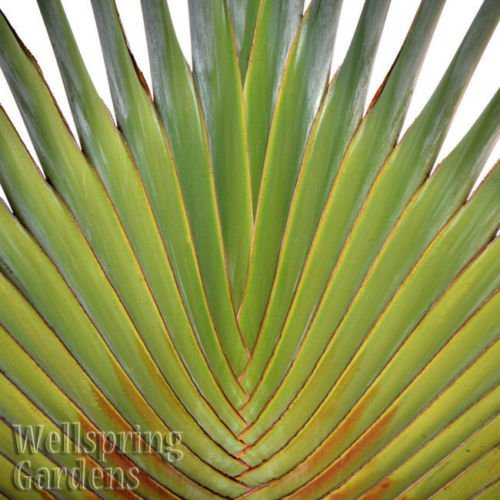 Traveler's Palm - Ravenala madagascariensis LIVE PLANT Exotic unique by Wellspring Gardens