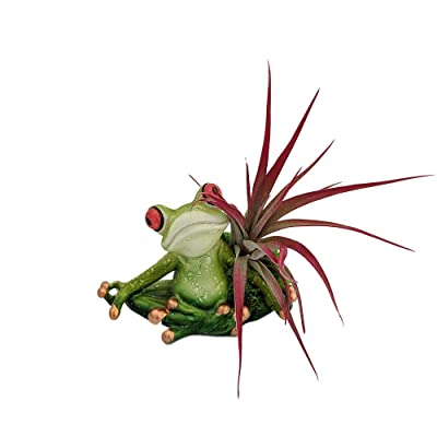 "Yoga Frog Lotus Position - Planter with Live Tillandsia Air Plant - 3"" x 3"" : Garden & Outdoor"