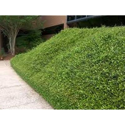 "Asian Jasmine, Trachelospermum asiaticum ""Minima"", TEN plants, vine : Garden & Outdoor"