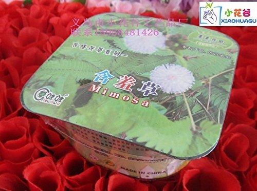 Mimosa Kiss - Office Mini bonsai flowers series of odd kiss garden Mimosa (hard pen packaging)