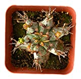 Euphorbia Horrida Snowflake Cactus - 2 inch Pot Succulent